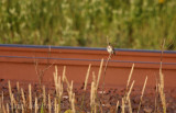 Savannah Sparrow  - cute and mean stare