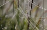 Spiderweb Dew