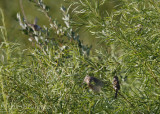 Clay-colored Sparrows! Can you find all four?