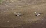 Mourning Doves (immature on left, adult on right)