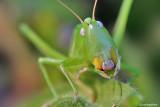 Ortotteri- Orthoptera