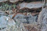 Gufo reale-Eurasian Eagle Owl (Bubo bubo)