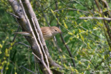 Salciaiola-Savi's Warbler (Locustella luscinioides)