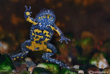 # Bombina appeninica-Appenine Yellow-bellied Toad  (Bombina pachypus )