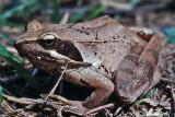 Rana di  lataste-Italian Agile Frog (rana latastei)