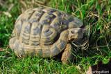 Hermann's Tortoise  (Testudo hermani)