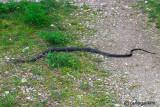 Biacco- Western Whip Snake  (Hierophis viridiflavus )