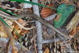 Orbettino-Slow Worm (Anguis fragilis )