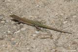 Lucertola spagnola- Iberian Wall Lizard  (Podarcis hispanica)