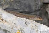 Lucertola adriatica- Dalmatian Wall Lizard  (Podarcis melisellensis)