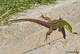 Lucertola campestre-Italian Wall Lizard  (Podarcis sicula)