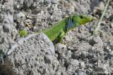 Ramarro gigante -Balkan Green Lizard (Lacerta trilineata)