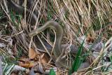Saettone -Aesculapian Snake  (Zamenis longissimus )