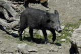 Cinghiale-Wild boar (Sus scrofa )