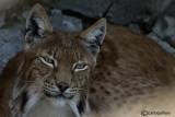 # Lince-Eurasian Lynx  (Felix lynx)