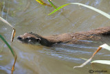 Lontra-Otter  (Lutra lutra)