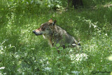 # Lupo- Wolf  (Canis lupus)