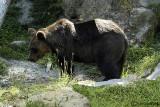 # Orso- Brown Bear (Ursus arctos )