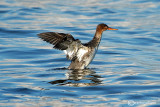 Smergo minore-Red-breasted Merganser (Mergus serrator)