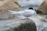 Sterna artica-Arctic Tern  (Sterna paradisaea)