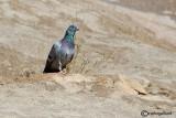 Piccione- Rock Dove(Columba livia)
