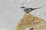 Averla cenerina- Lesser Grey Shrike(Lanius minor)