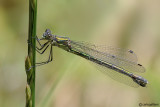 Lestes dryas female