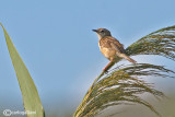 Beccamoschino - Fan-tailed Warbler - Cisticola juncidis