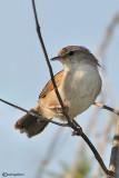 Usignolo di fiume-Cetti's Warbler (Cettia cetti)
