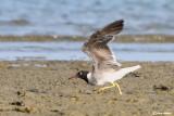 Gabbiano occhibianchi -White-eyed Gull (Larus leucophtalmus)