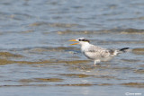 Sterna di Rüppell - Lesser Crested Tern (Sterna bengalensis)