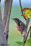 Torcicollo - Eurasian Wryneck (Jynx torquilla)
