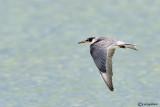 Sterna guancebianche - White-cheeked Tern (Sterna repressa)