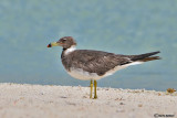 Gabbiano fuligginoso -Sooty Gull (Larus hemprichii)