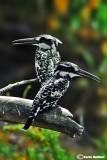Martin pescatore bianco e nero - Pied Kingfisher (Ceryle rudis)