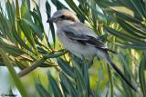 Averla beccopallido - Steppe Grey Shrike (Lanius (meridionalis)pallidirostris)