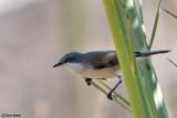 Bigiarella-Lesser Whitethroat (Sylvia curruca)