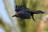 Corvo collobruno -Brown-necked Raven (Corvus ruficollis)