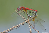 Sympetrum fonscolombei mating