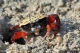 Granchio violinista - Fiddler crabs - Uca sp.