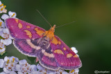 Pyrausta purpuralis