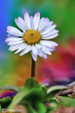 Psychedelic Marguerite