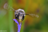Anthophora sp plumipes