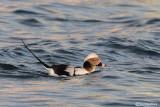 Moretta codona-Long-tailed Duck (Clangula hyemalis)