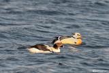Long-tailed Duck (Clangula hyemalis) --Steller's Eider (Polysticta stelleri)