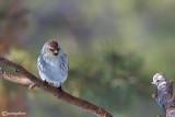 Organetto artico -Arctic Redpoll (Carduelis hornemanni)