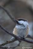Cincia siberiana- Siberian Tit(Poecile cincta)