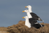 Mugnaiaccio-Great Black-backed Gull (Larus marinus)