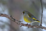 Verdone -European Greenfinch (Carduelis chloris)
