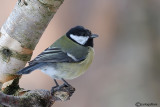 Cinciallegra -Great Tit (Parus major)